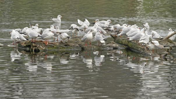 Free Stock Photo of Lots of gulls on lake water