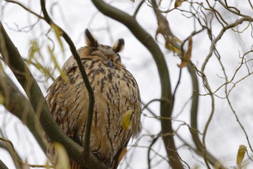 Free Stock Photo of Long-eared owl (Asio otus) sleeping on a tree branch