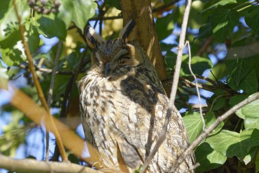 Free Stock Photo of Long-eared owl (Asio otus) perched on a tree branch