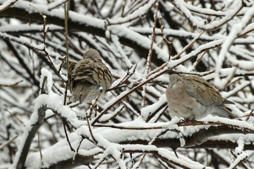 Free Stock Photo of Turtledoves in a tree with snow