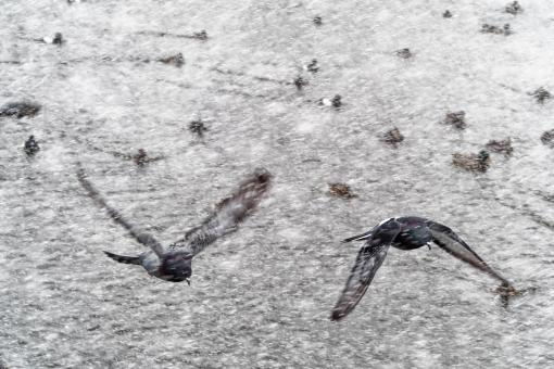 Free Stock Photo of Pigeon flying in a snowsquall