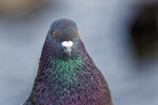 Free Stock Photo of Feral Pigeon
