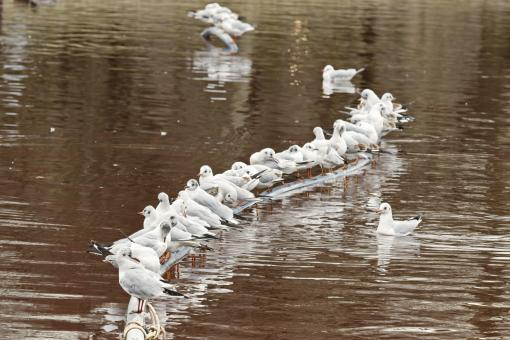 Free Stock Photo of Lots of gulls standing on a rubber hose floating on the lake water