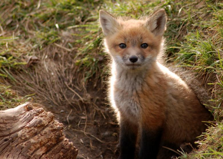 Free Stock Photo of Brighton Foxes II Created by melissa mackey