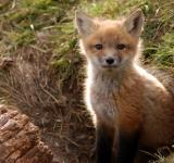 Free Photo - Brighton Foxes II