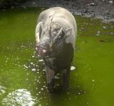 Free Photo - Babirusa Mandi