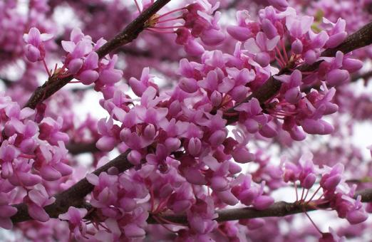 Red Bud Tree in full Bloom - Free Stock Photo