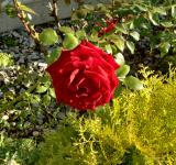 Free Photo - Red Rose