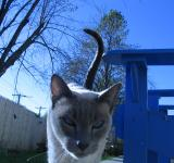 Free Photo - Blue Cat