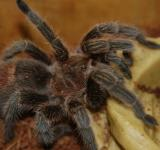 Free Photo - Rose The Tarantula