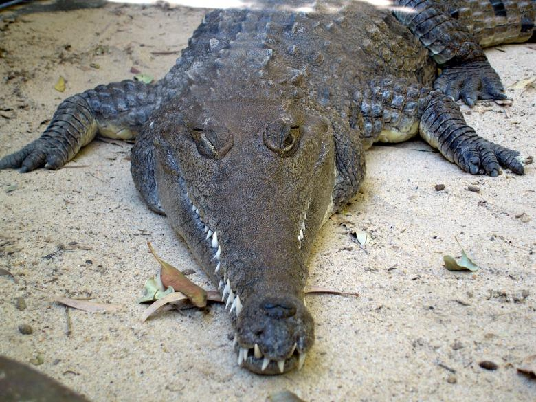 Free Stock Photo of Crocodile Created by Osama Hasan Khan