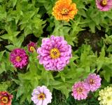 Zinnia Elegans - Free Stock Photo