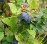 Free Photo - Little blueberry