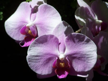 Orchid Perfection - Free Stock Photo