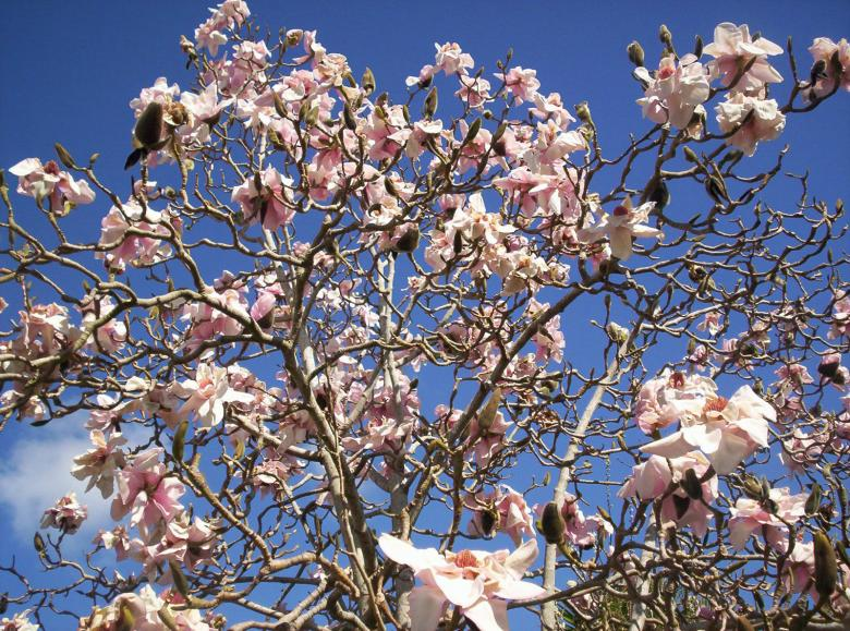 Free Stock Photo of Magnolia lehuge Created by Peter Alexander Robb