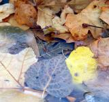 Free Photo - Leaves under Ice