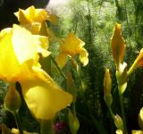 Free Photo - Early Morning Dill and Gladioli