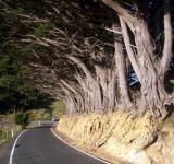 Free Photo - Macrocarpa Dominant