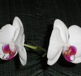 Free Photo - Phalaenopsis Orchid
