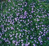 Free Photo - Little Purple Flowers