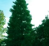Free Photo - Tall Pine Tree