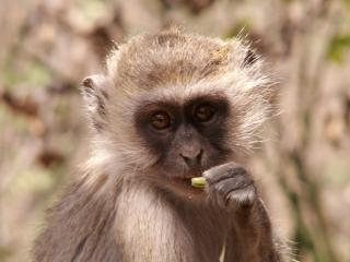 Download Vervet Monkey - A Portrait Free Photo