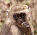 Free Photo - Vervet Monkey - A Portrait