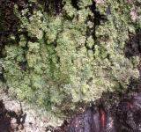 Free Photo - Lichen on West Facing Silver Birch 2