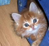 Free Photo - MAINE COON BABY