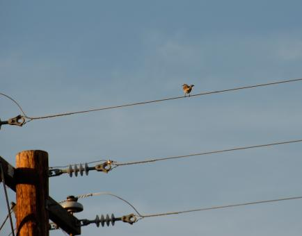 Sparrow on a Wire - Free Stock Photo