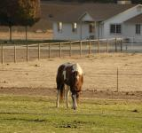 Free Photo - Grazing Mustang