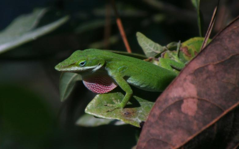 Free Stock Photo of Excited anole Created by robert m mckenzie iii