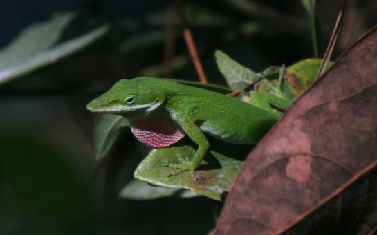 Excited anole - Free Stock Photo
