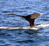 Free Photo - Whale of a tail