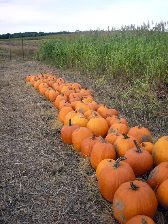Free Stock Photo of Pumpkin patch Created by deb jencks