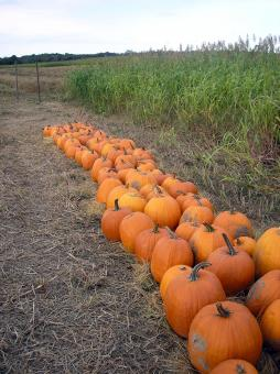 Pumpkin patch - Free Stock Photo
