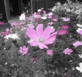 Free Photo - Pink Flowers on Black and White Backgrou