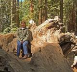 Free Photo - Sitting on a Stump in the Giant Sequoias