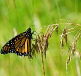 Free Photo - Monarch_1