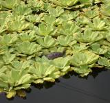 Free Photo - Turtle on Lilies