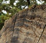 Free Photo - Fallen Tree - Cross Section