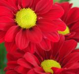Free Photo - 3 red flowers