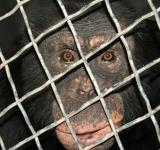 Free Photo - Huey the Chimp