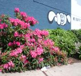 Free Photo - Rhododendron verses grafitti