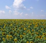 Free Photo - Sunflowers