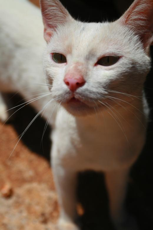 Free Stock Photo of White Cat Created by fabio grande