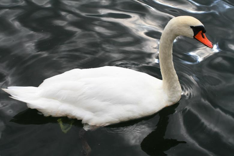 Free Stock Photo of Stockholm  Swan Created by fabio grande