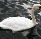 Free Photo - Stockholm  Swan