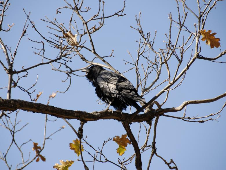 Free Stock Photo of Wild Crow in Sequoia National Park Created by j. l. johnson