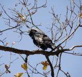 Free Photo - Wild Crow in Sequoia National Park